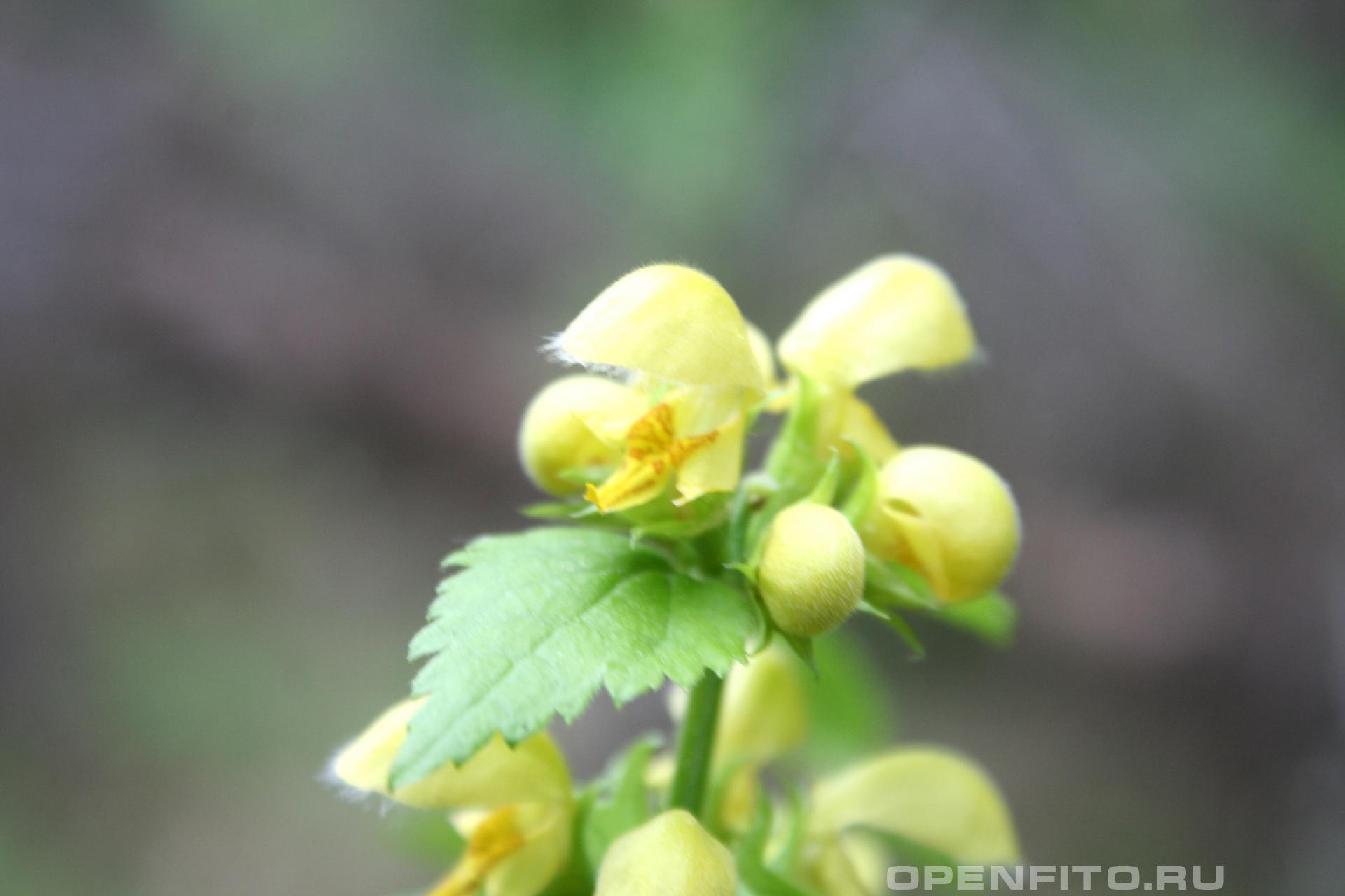 Зеленчук желтый лекарственное растение семейства яснотковых