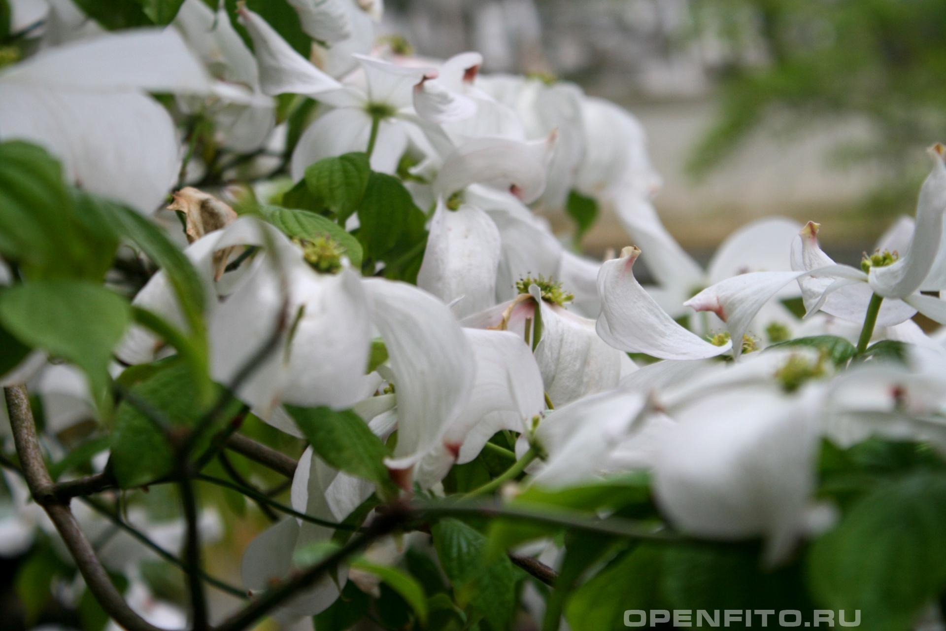 Циноксилон цветущий фотографии цветков