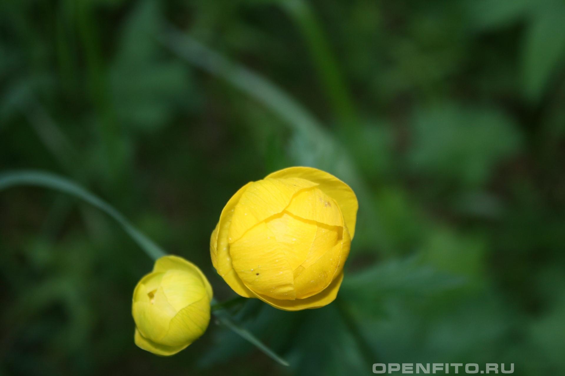 Купальница Эти цветки практически никогда не раскрываются