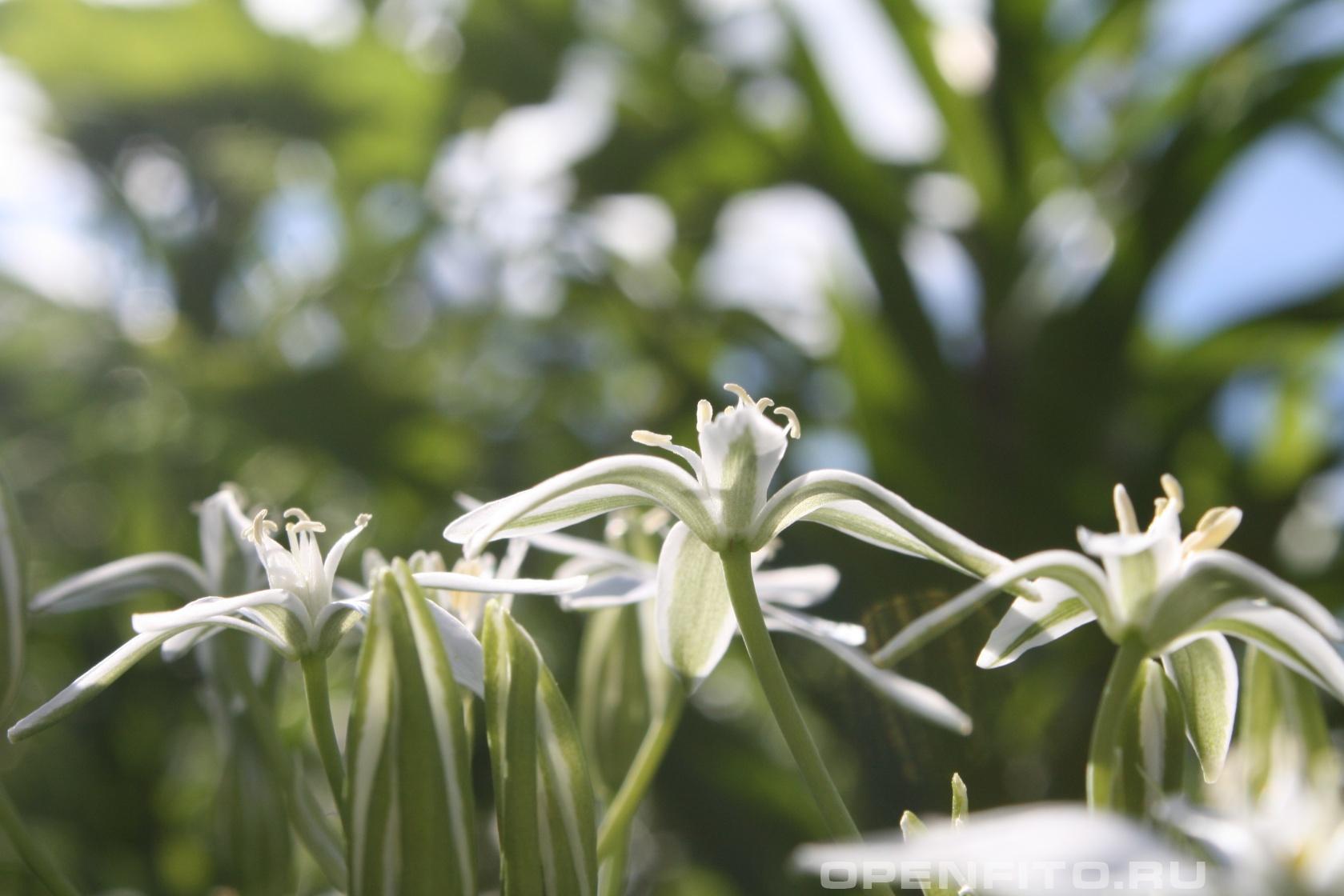 Птицемлечник тонколистный <p>Ядовитое декоративное растение</p>
