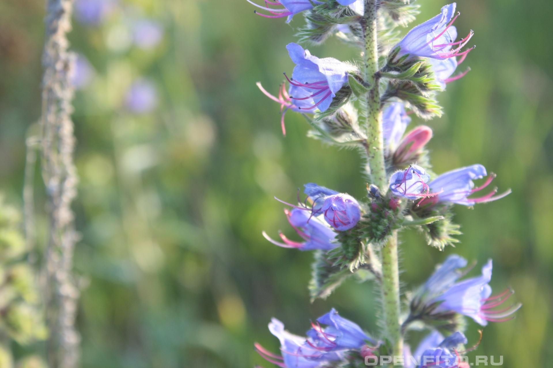 Синяк медоносное и лекарственное растение