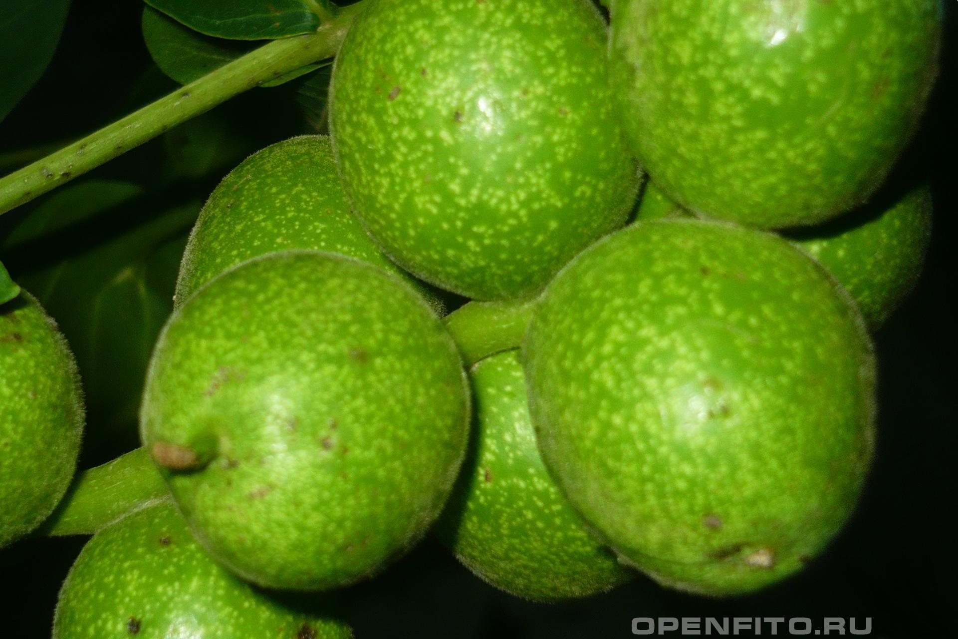 Грецкий орех Зеленые плоды дерева