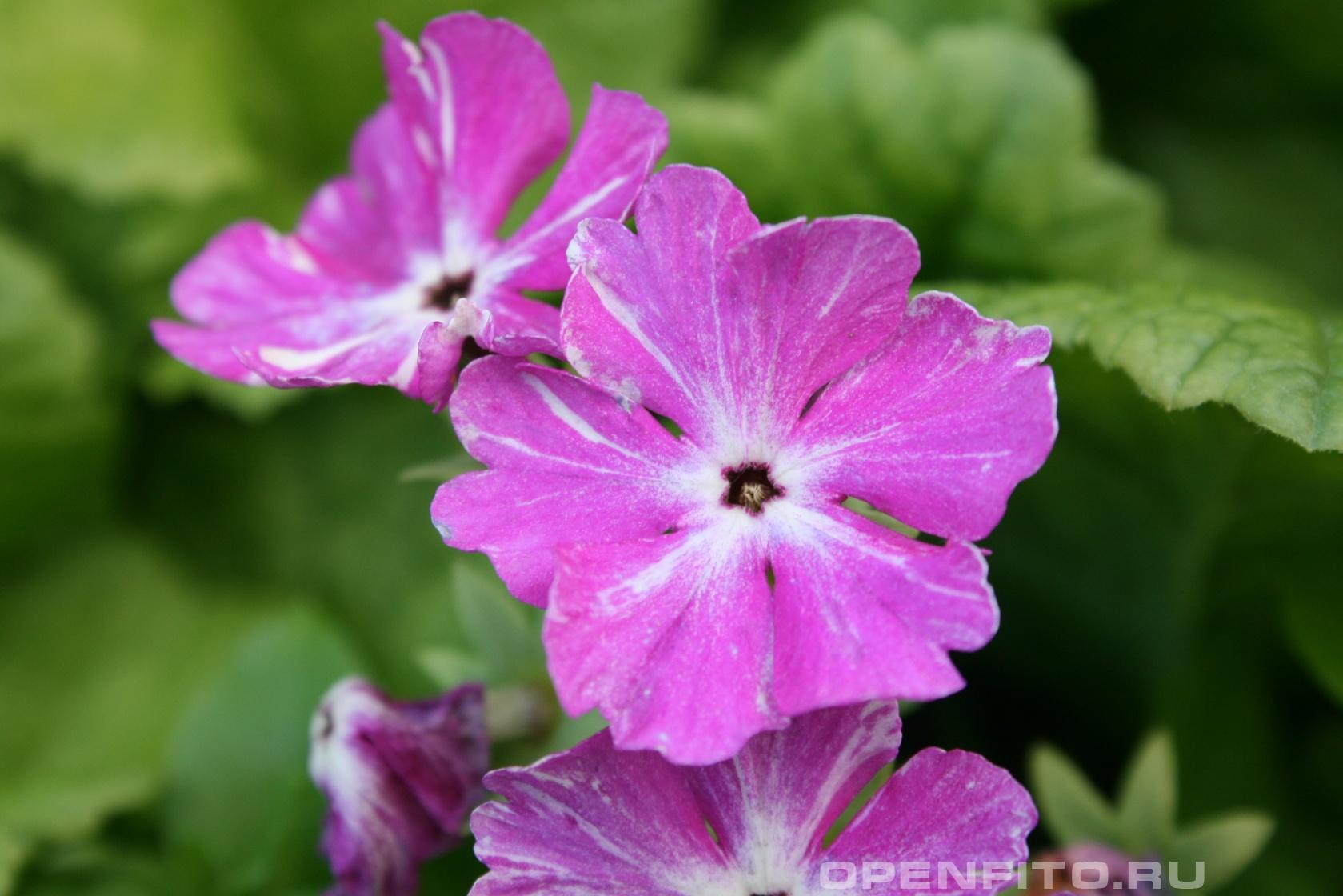 Примула Садовый цветок