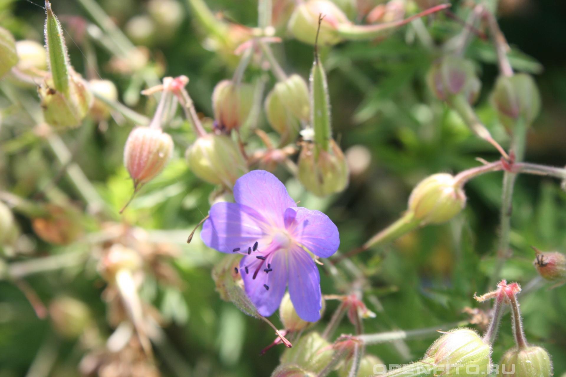 Герань луговая Цветок и незрелые семена