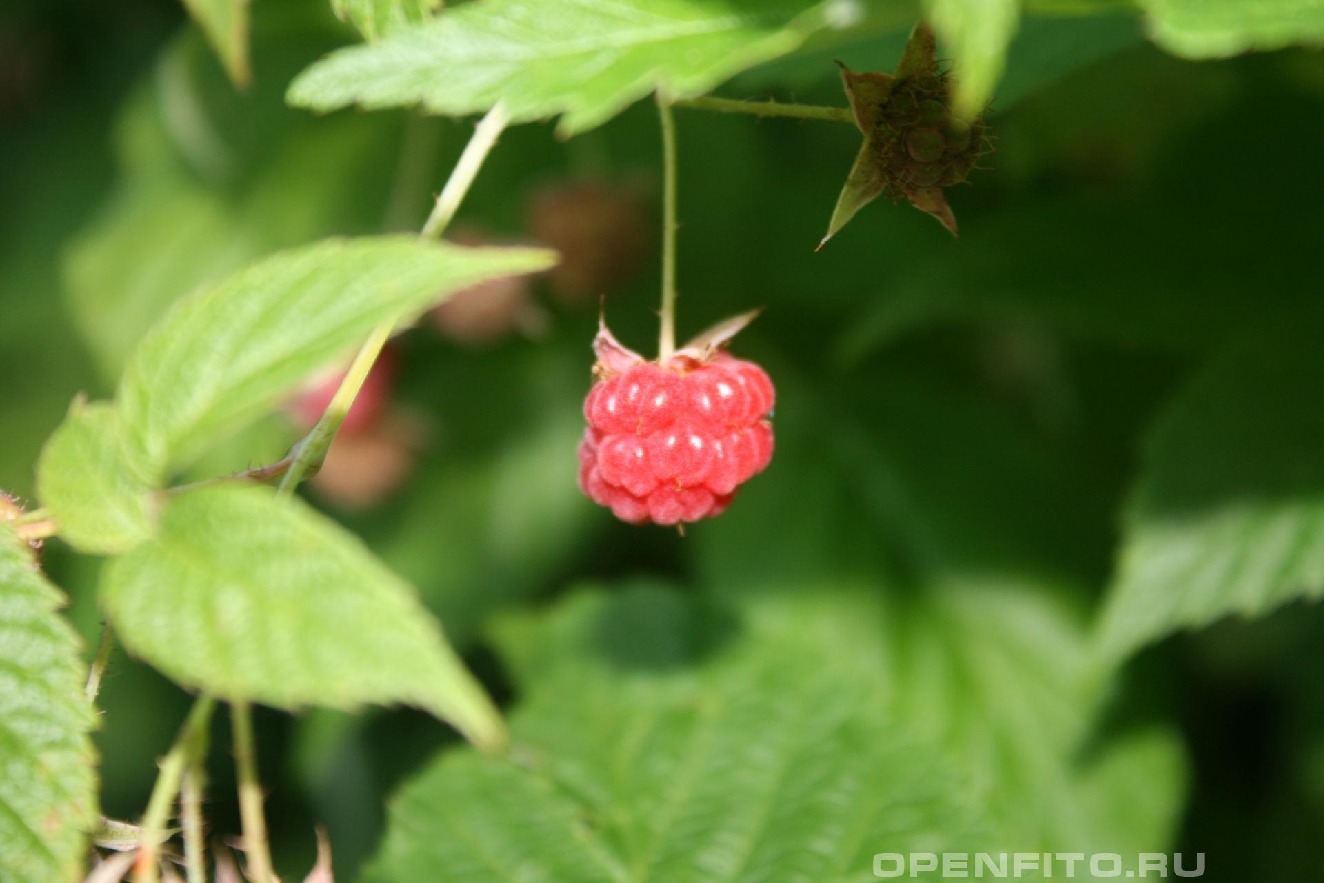 Малина зрелая ягода