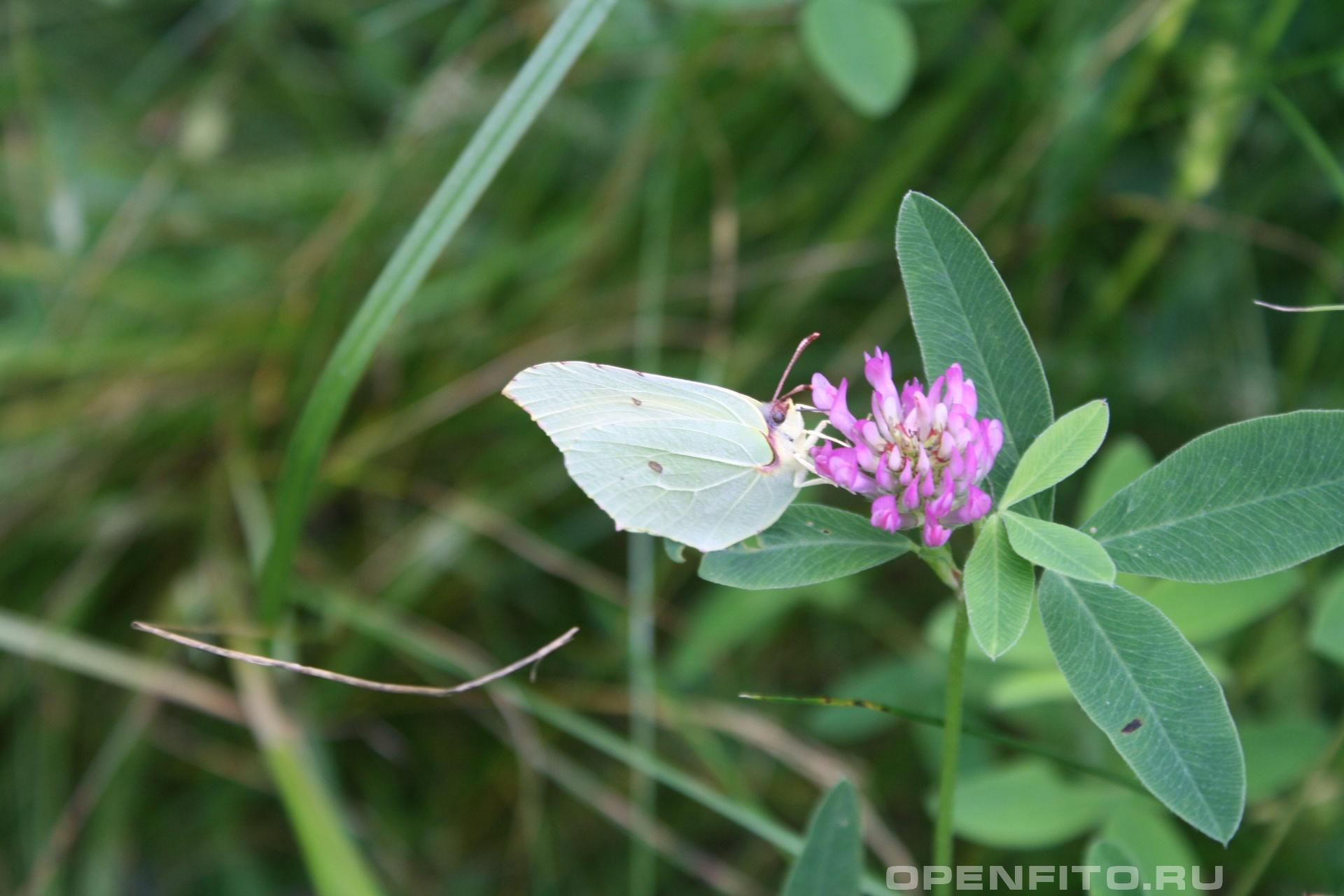 Красный клевер и бабочка