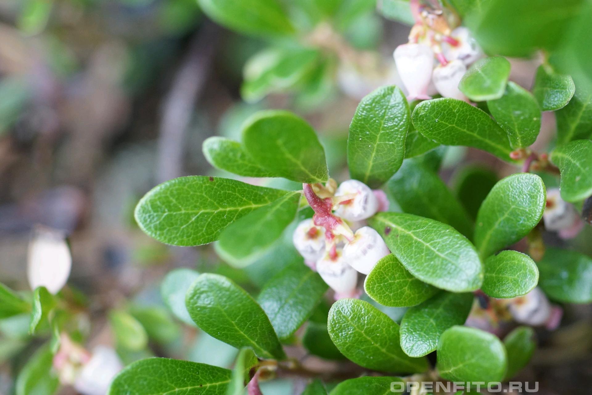 Толокнянка Листья и цветы