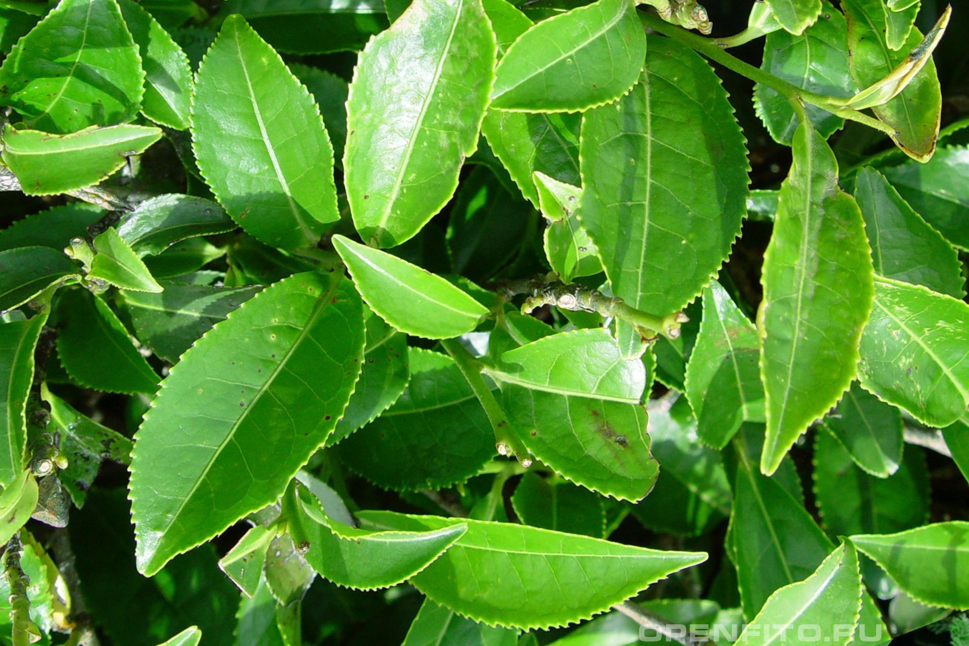 Чайное дерево листья из которых изготавливают чай