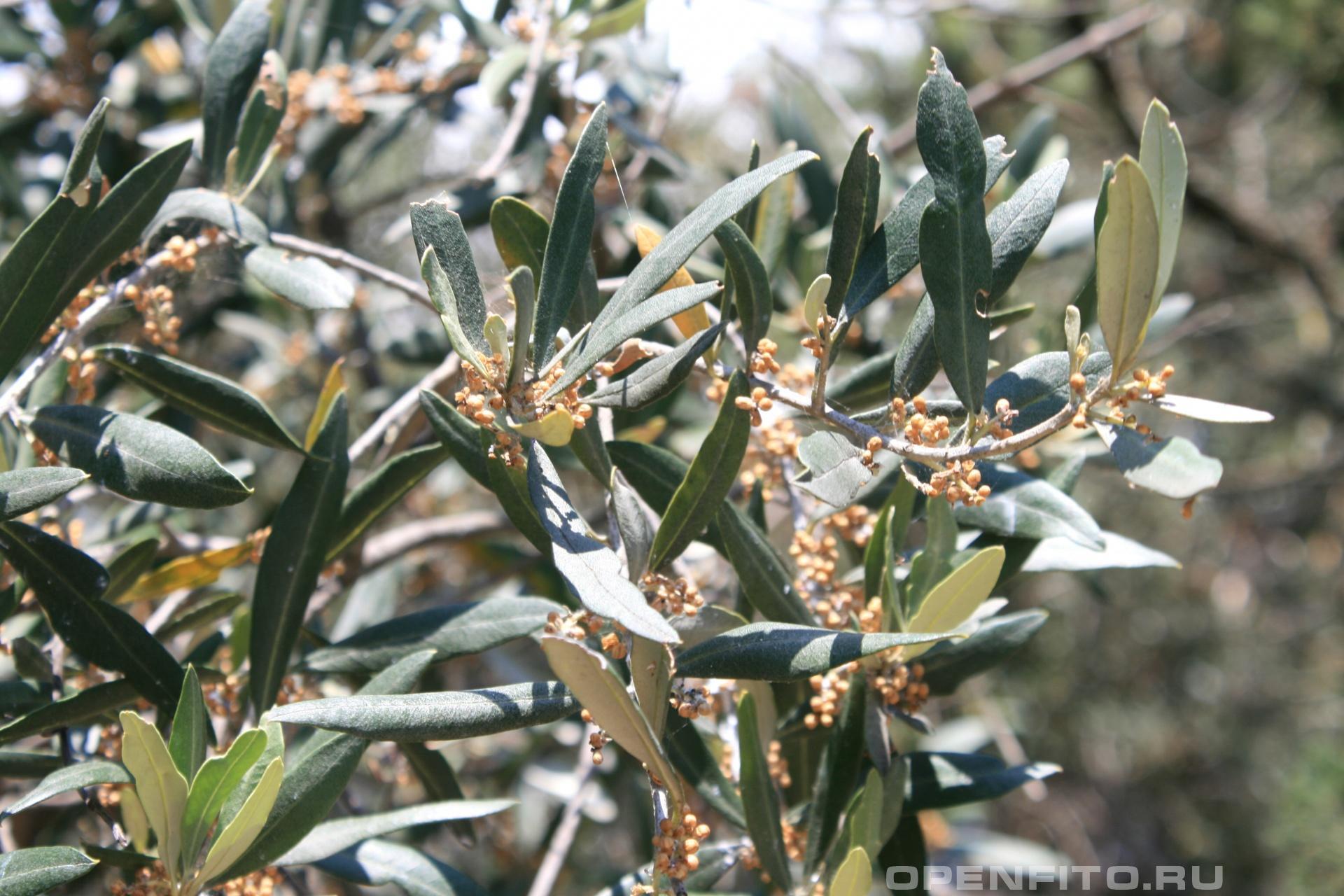 Маслина европейская <p>именно из него делают оливки</p>
