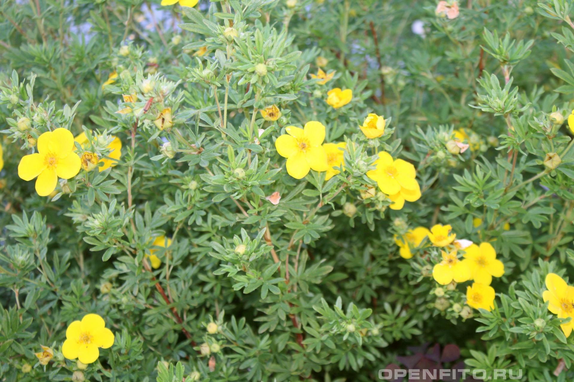 Лапчатка кустарниковая желтый куст
