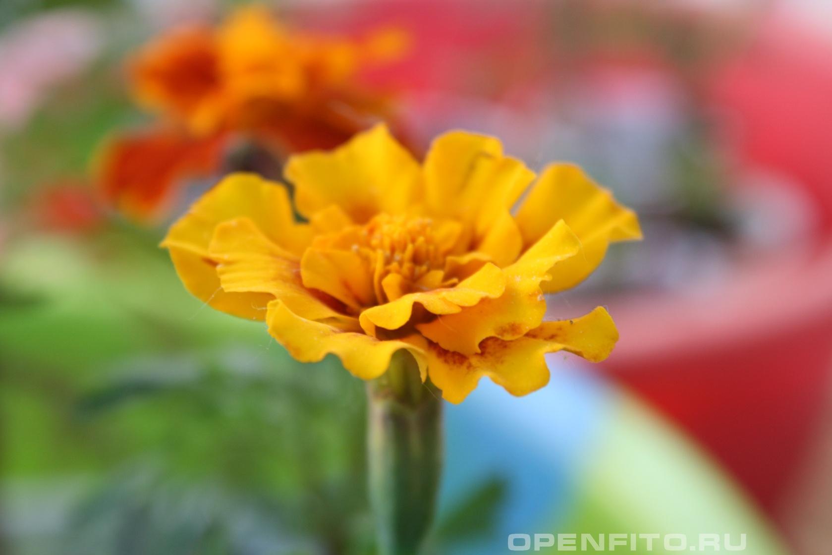 Бархотцы Садовое и лекарственное растение