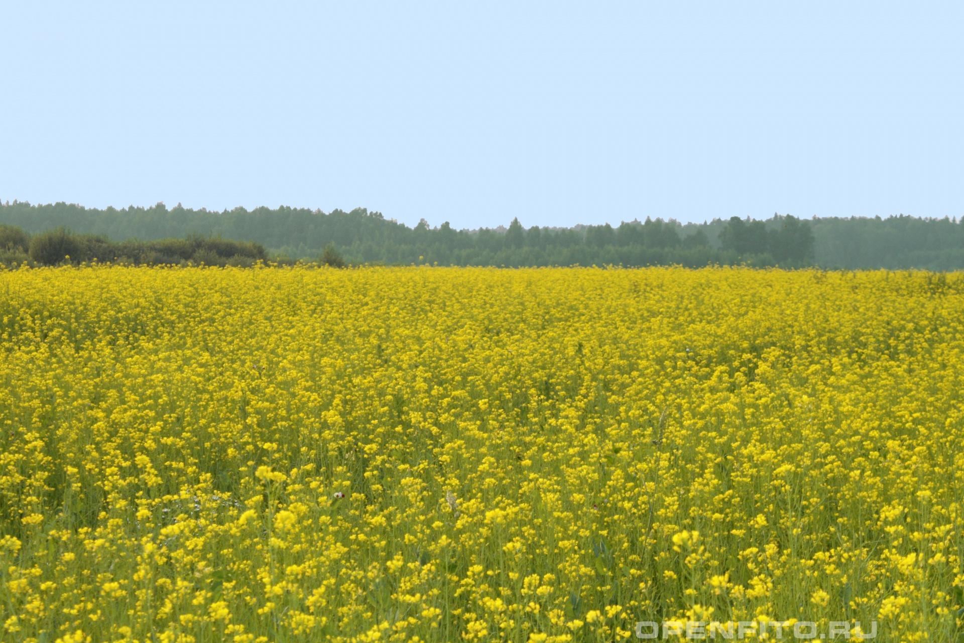 Поле горчицы Савинский район Ивановской области
