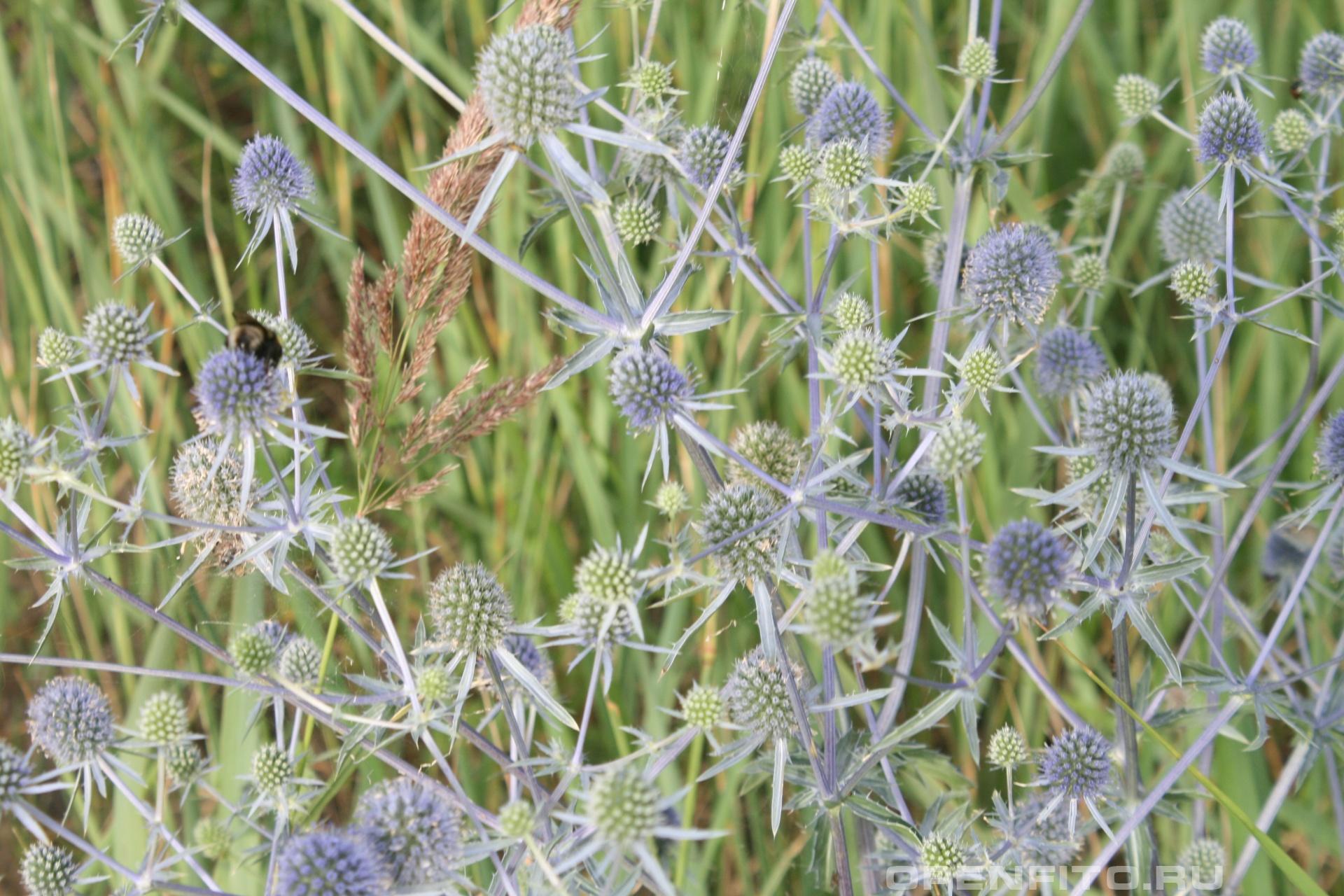 Синеголовник плоский июльский цветок