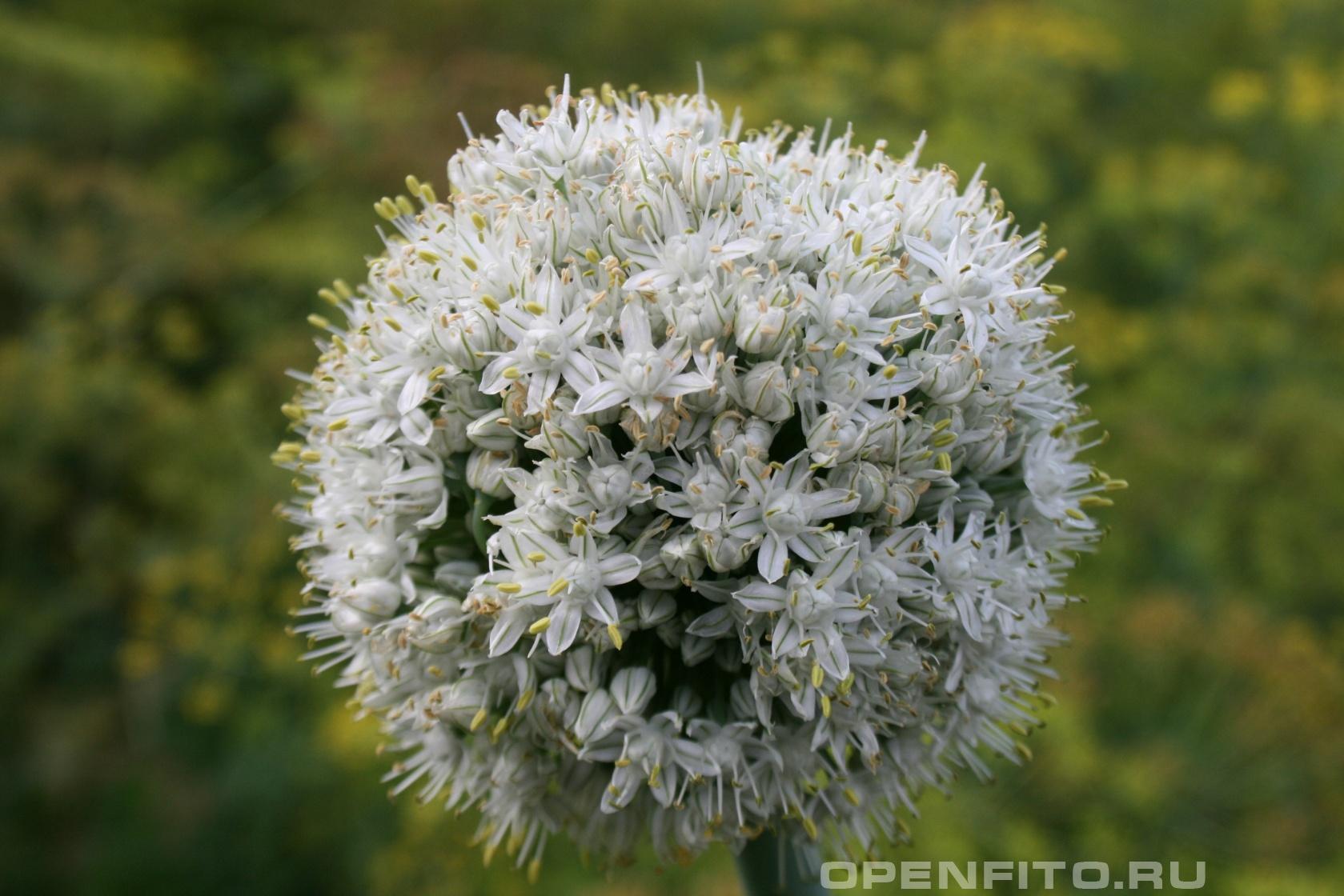 Лук репчатый <p>садовое культурное растение</p>