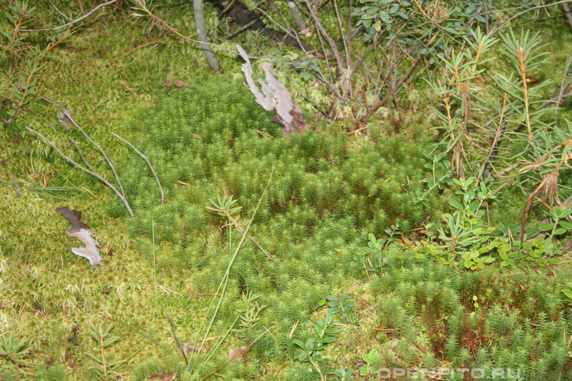 Кукушкин лен и багульник болотные растения