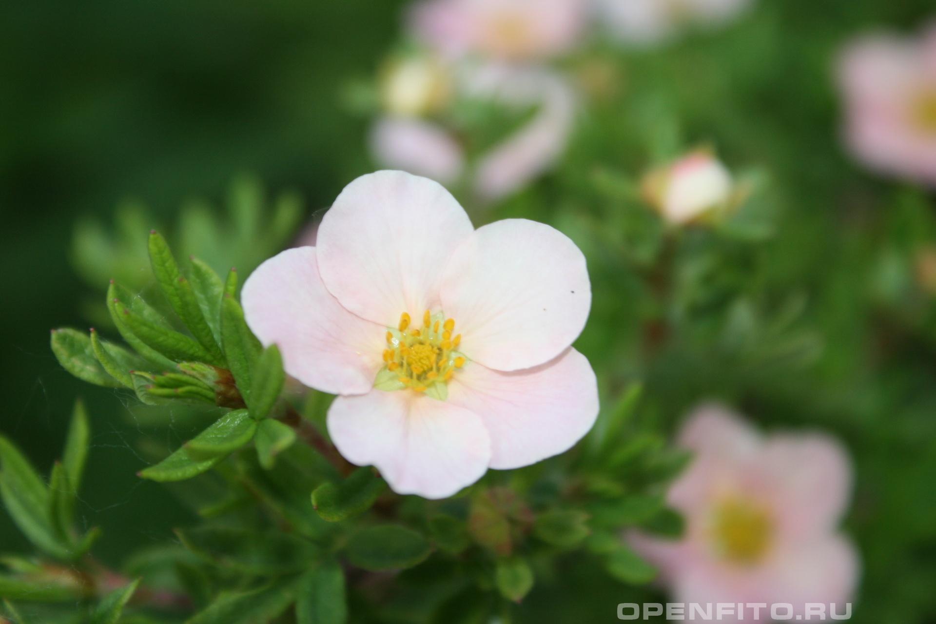 Лапчатка кустарниковая Розовый курильский чай