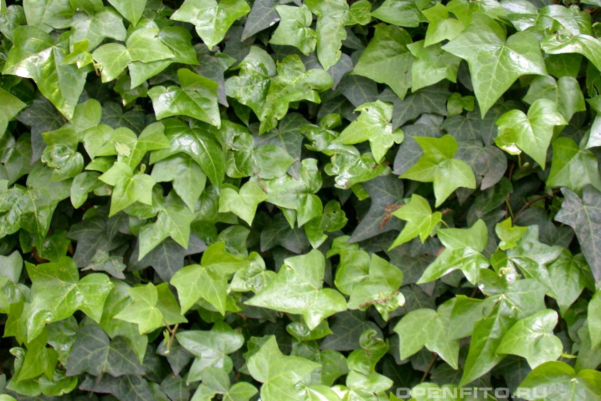 Плющ Вьющееся лекарственное растение