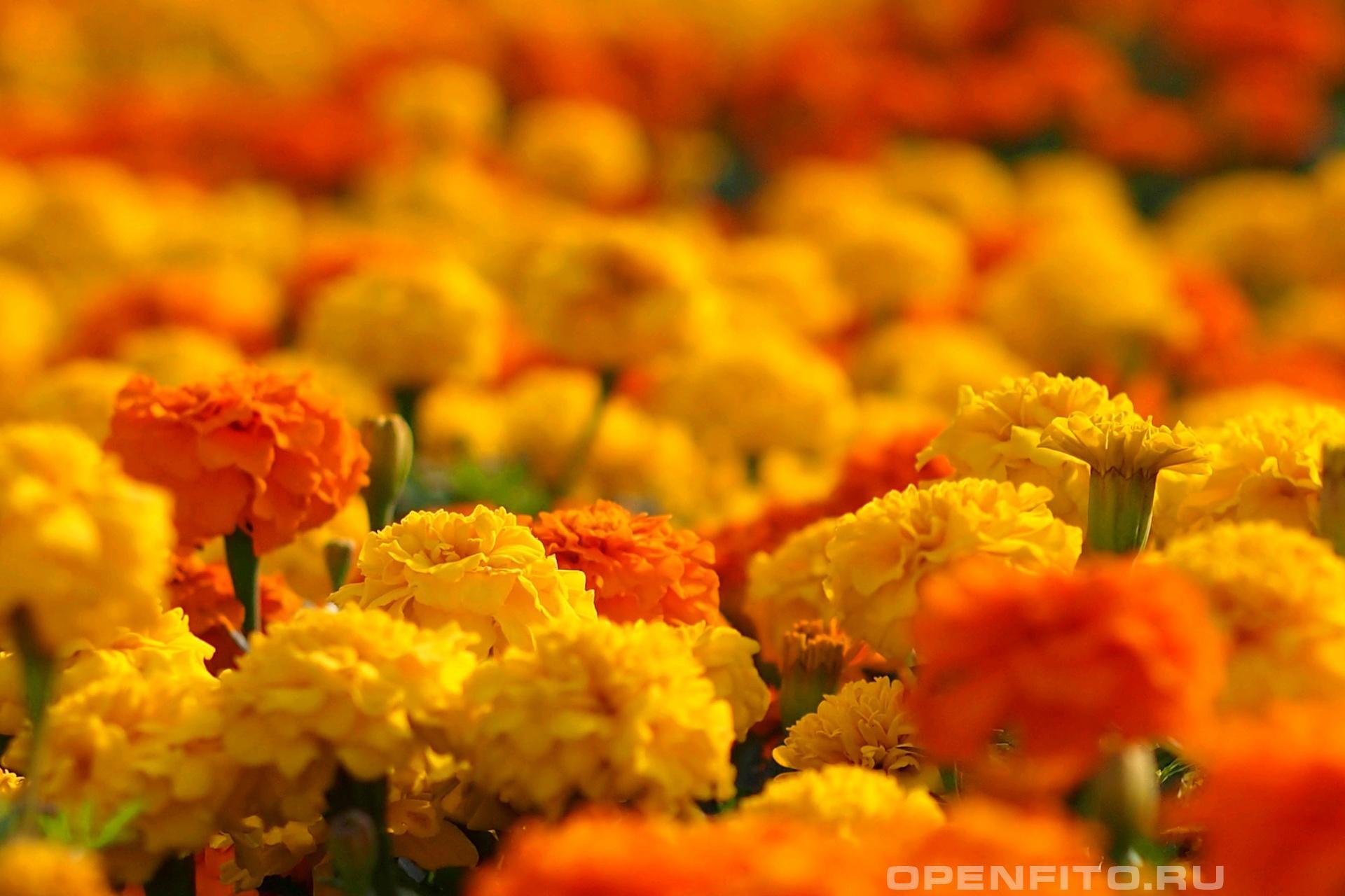 Бархатцы много цветков