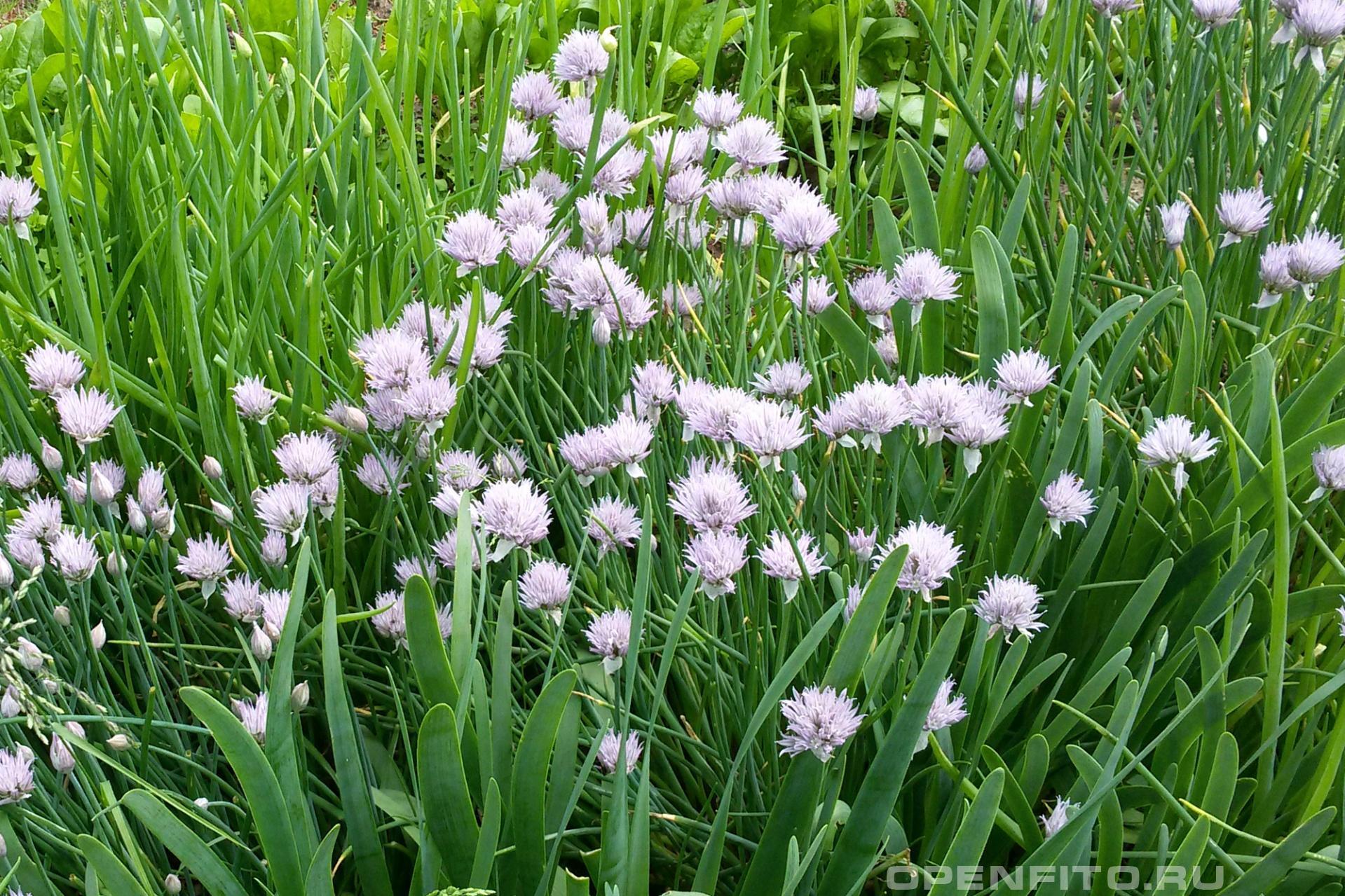 Лук душистый на фото 3 вида: лук душистый (цветет), порей, лук округлый