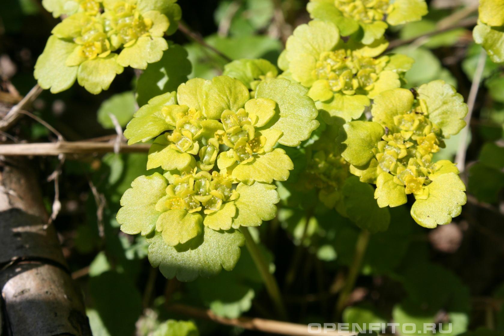 Селезеночник Цветет в апреле