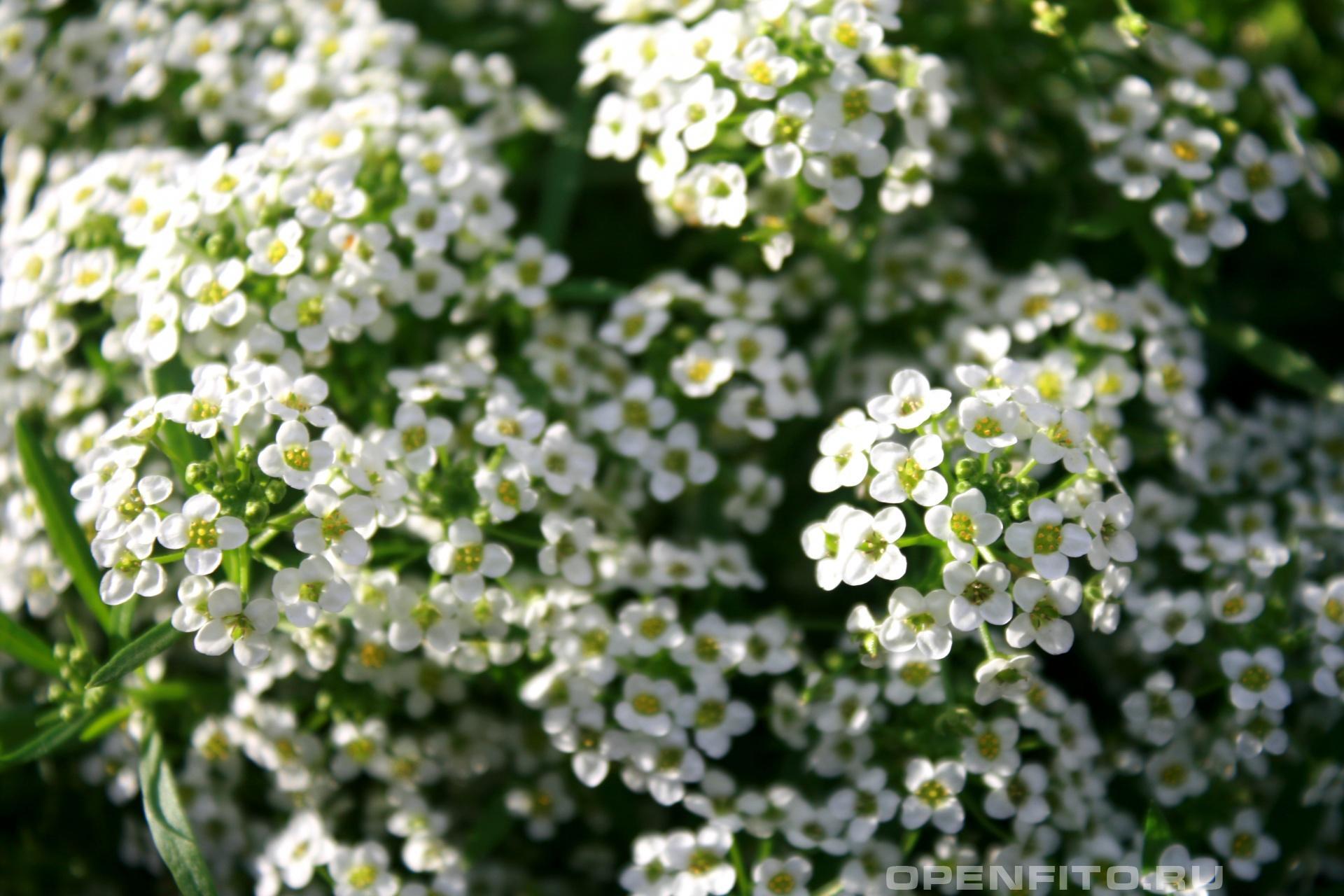 Лобулярия приморская <p>другие названия: алиссум, конига, газонница, бурачок</p>