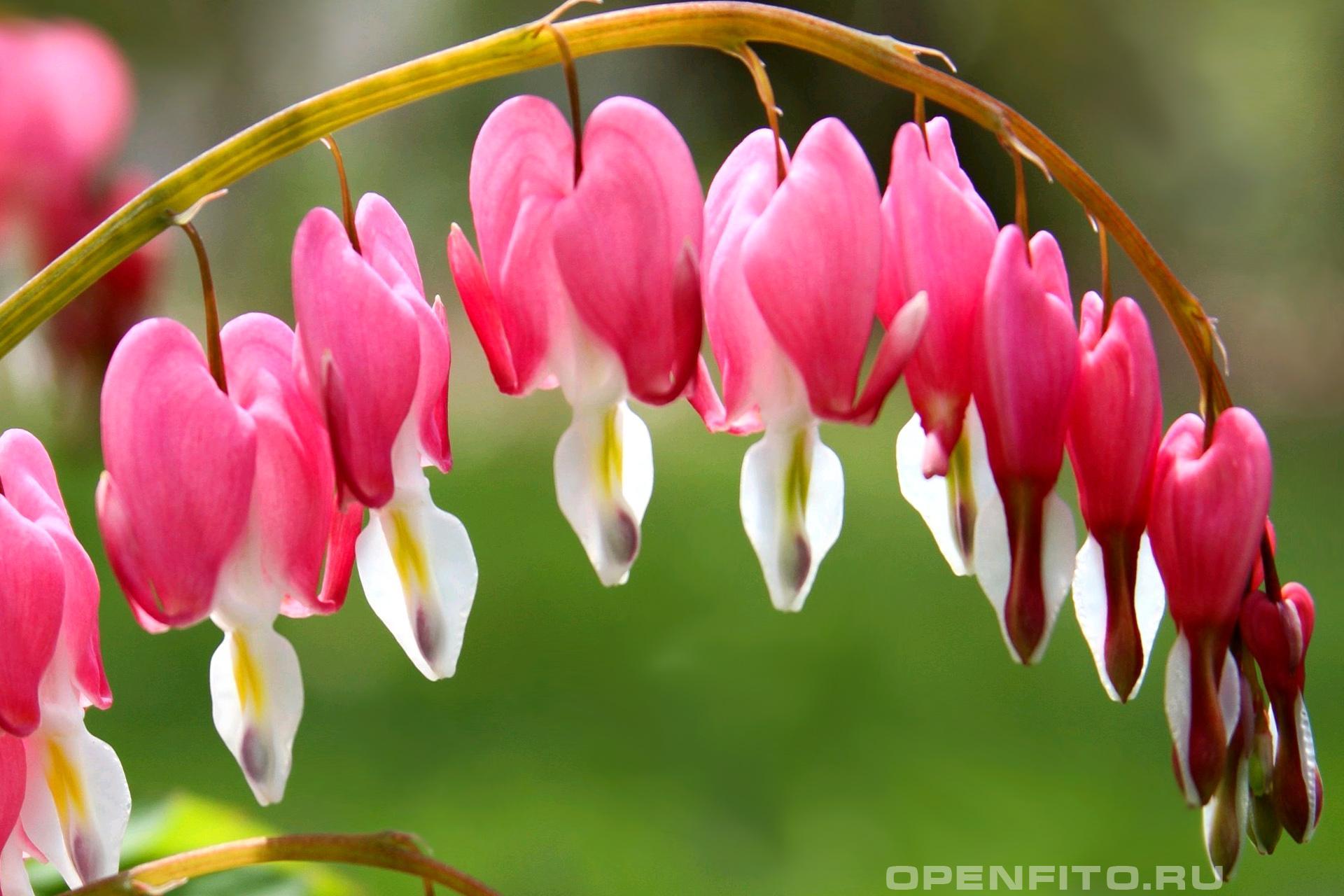 Дицентра великолепная в народе это растение называют разбитое сердце или сердцецвет