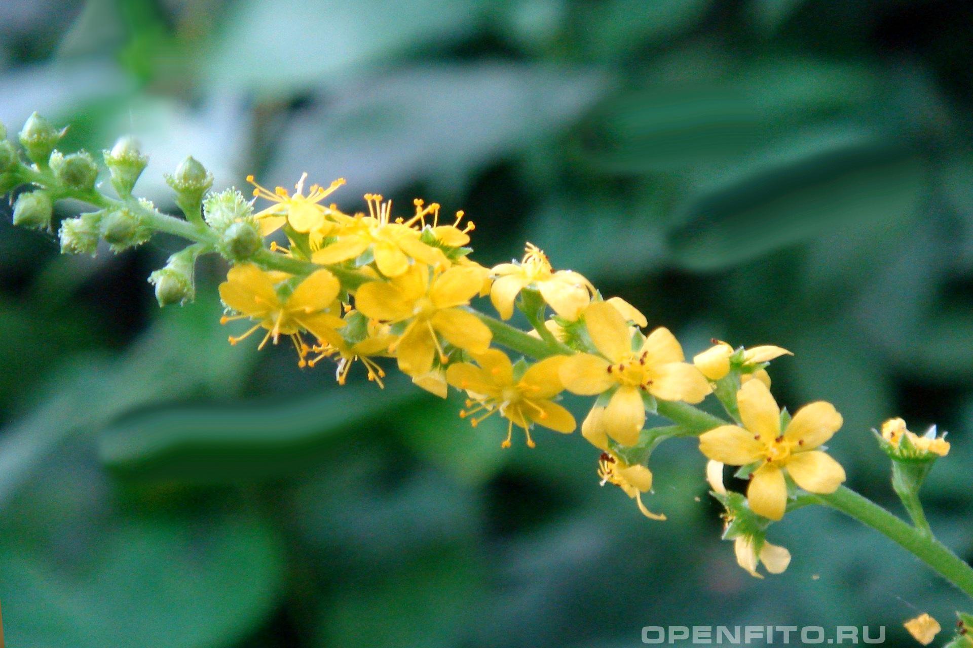 Репешок лечебное растение