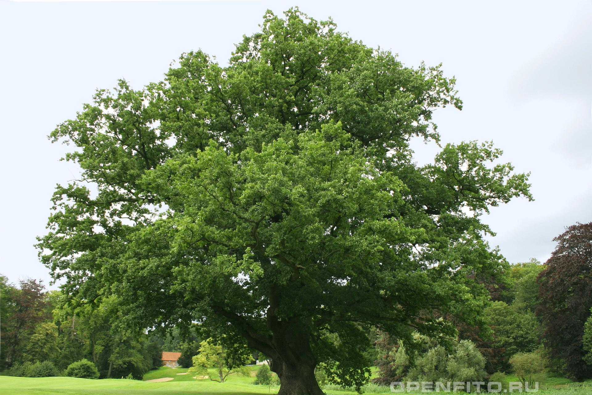 Дуб черешчатый лечебное дерево