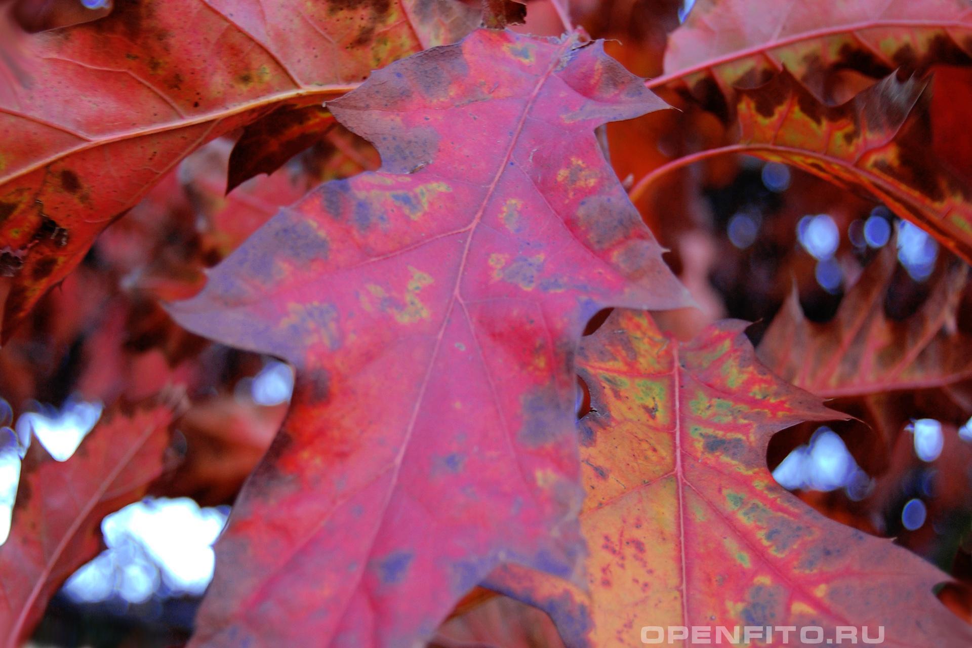 Дуб красный осенний лист