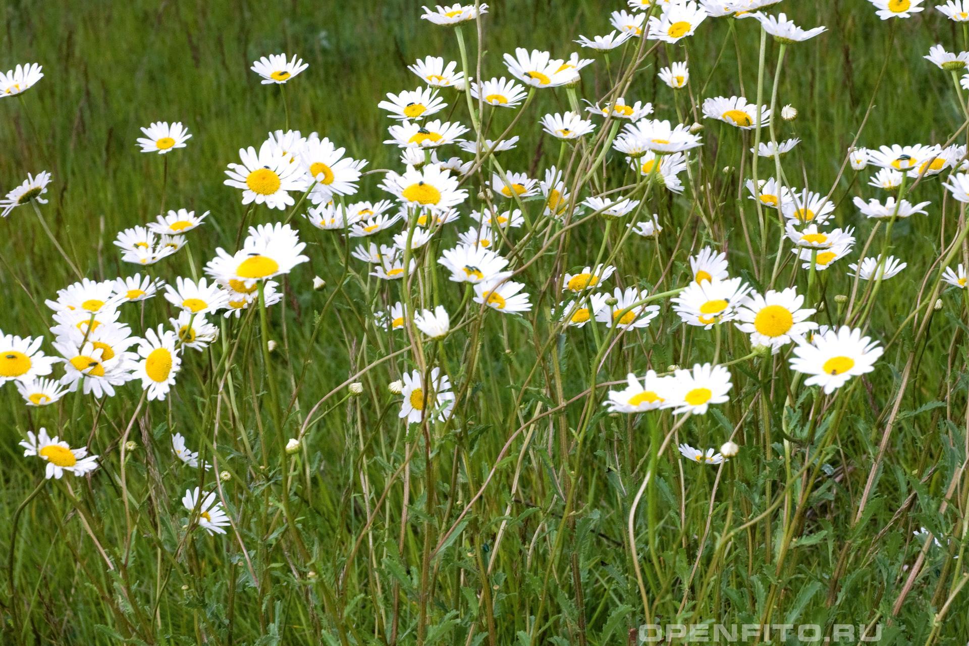 Нивяник обыкновенный цветущая трава
