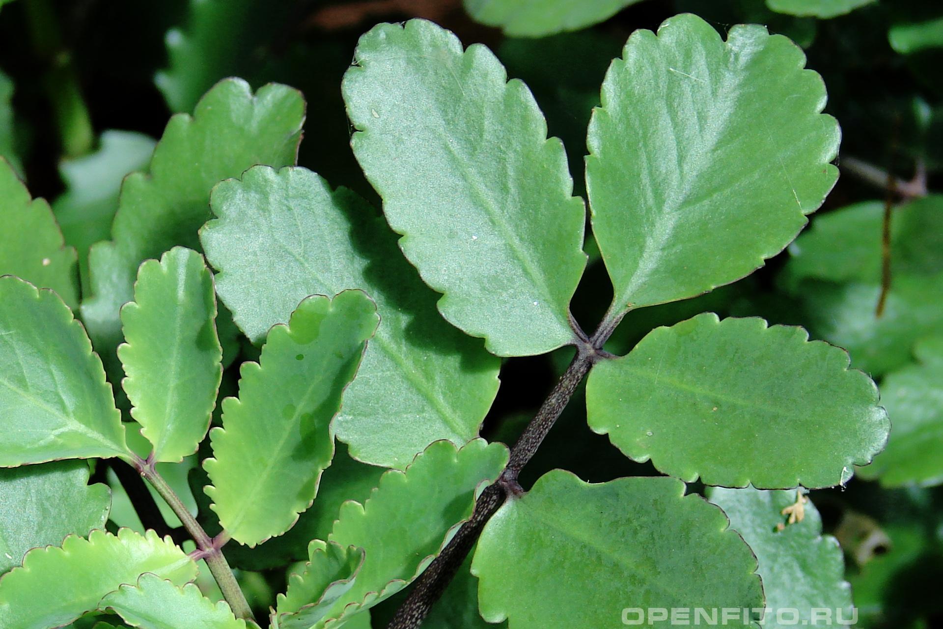 Каланхоэ перистое лечебное домашнее растение