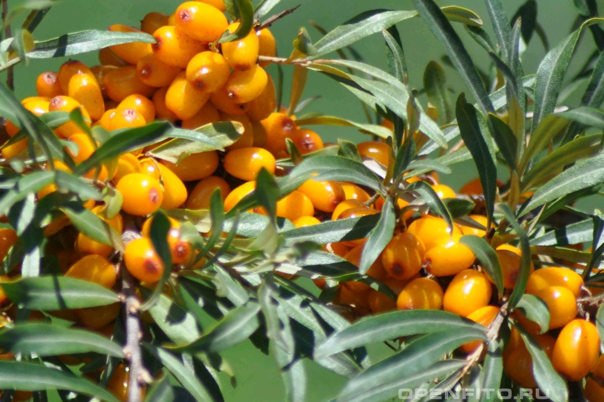 Облепиха крушиновидная ягоды и листья