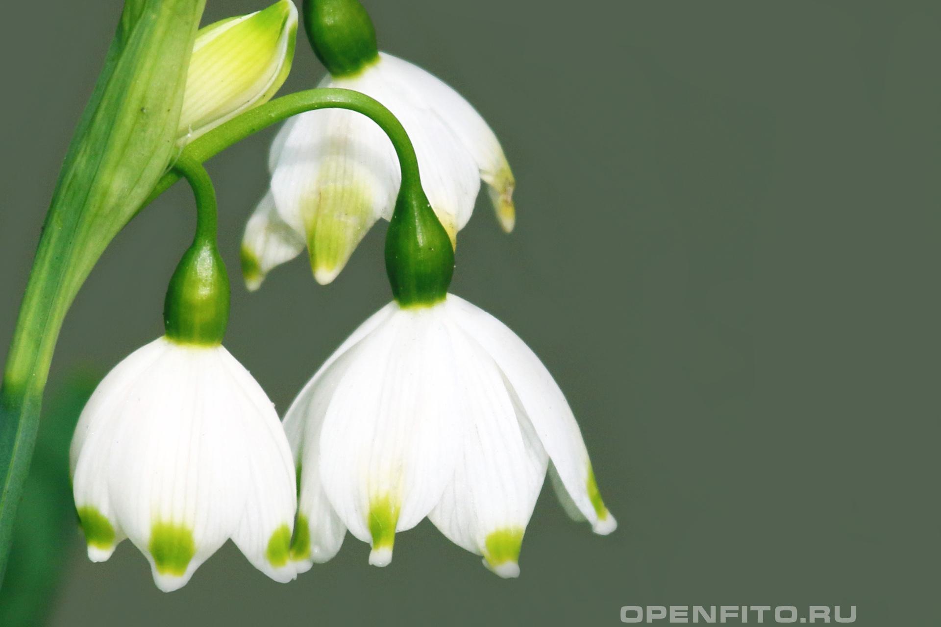 Белоцветник летний лекарственное растение