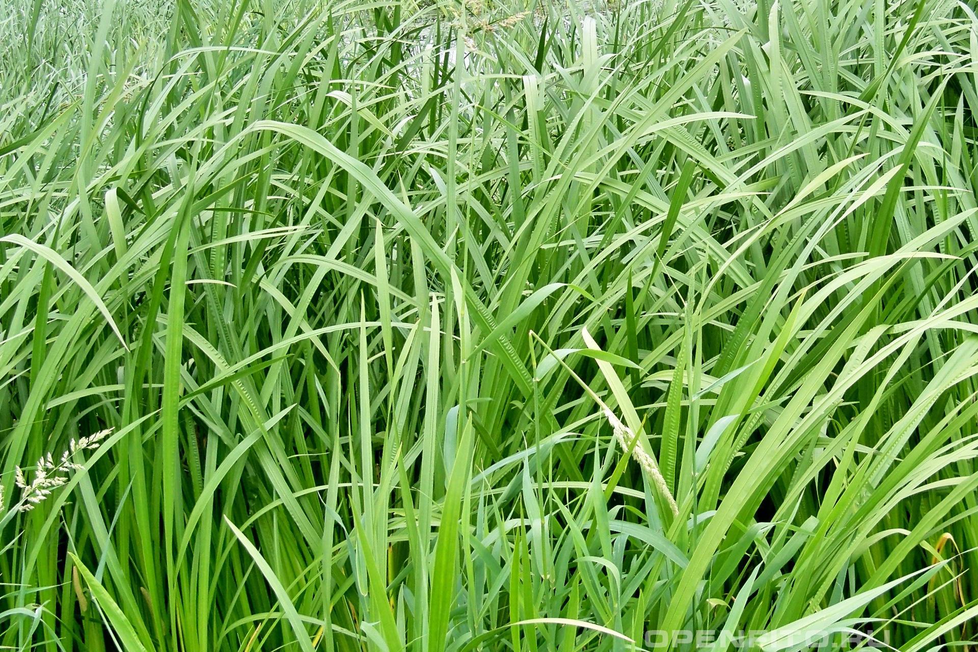 Аир болотный Заросли лекарственного растения Колмус