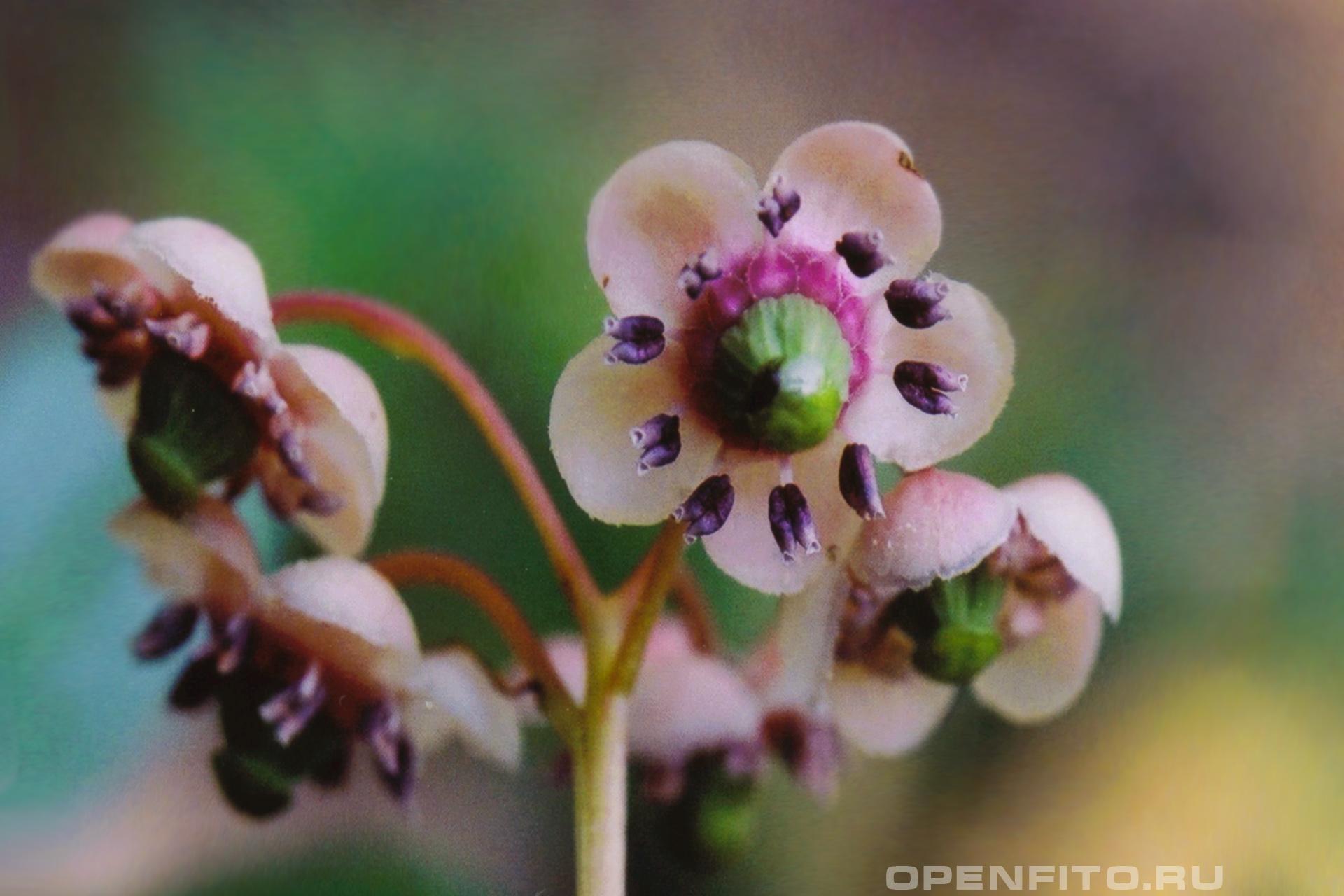 Зимолюбка зонтичная лекарственное растение
