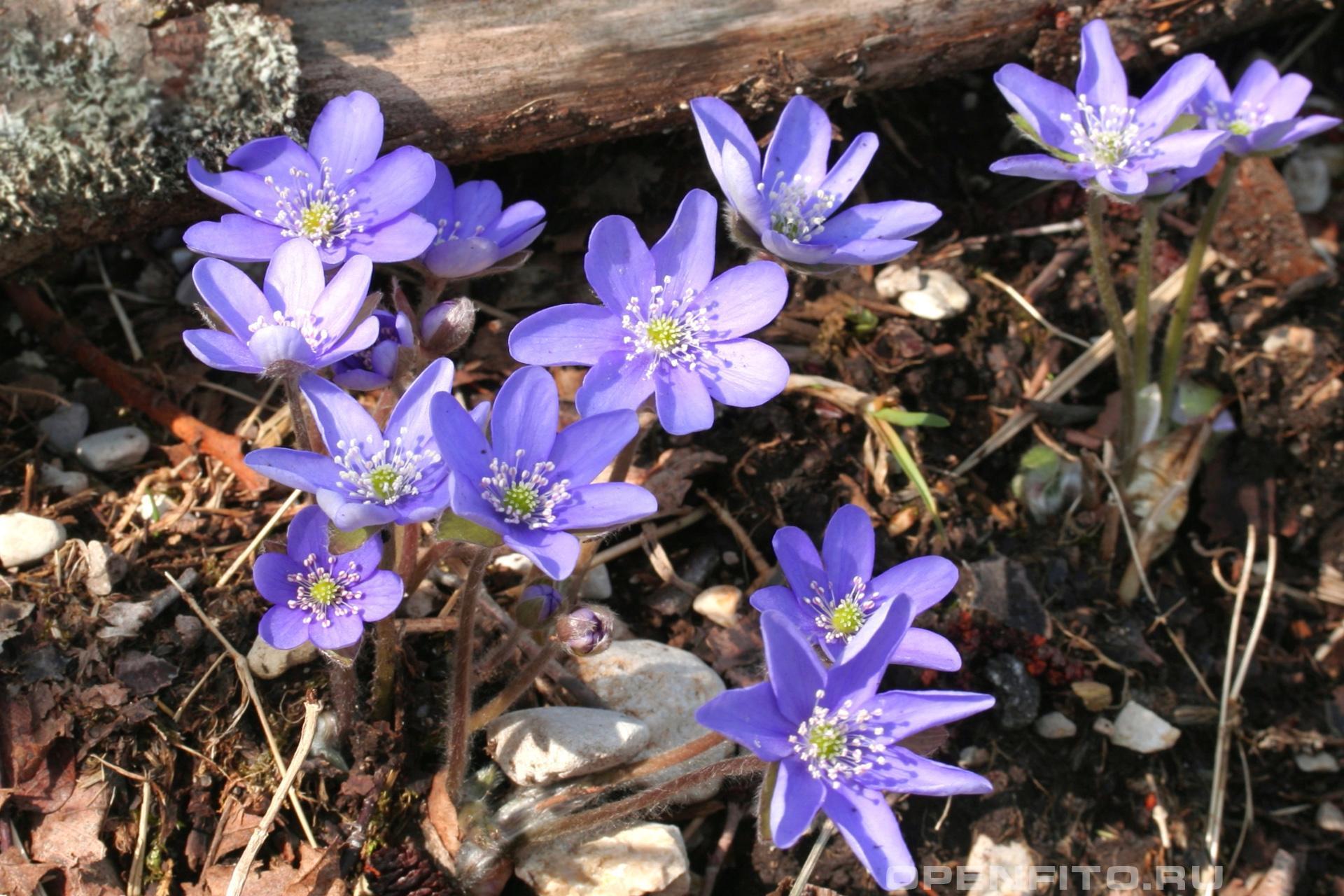 Печёночница благородная раннее весеннее растение