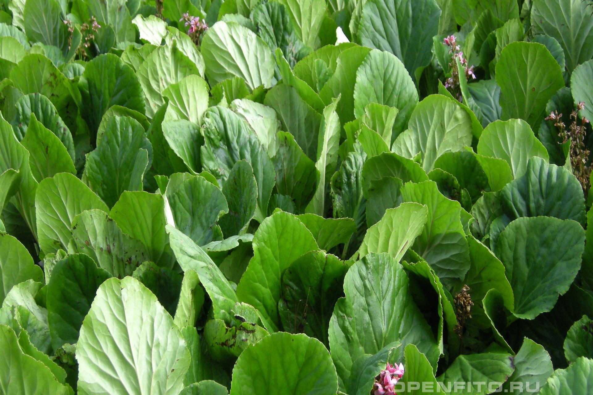 Бадан толстолистный так же это растение называется Камнеломка толстолистная, из него можно заваривать чайные напитки