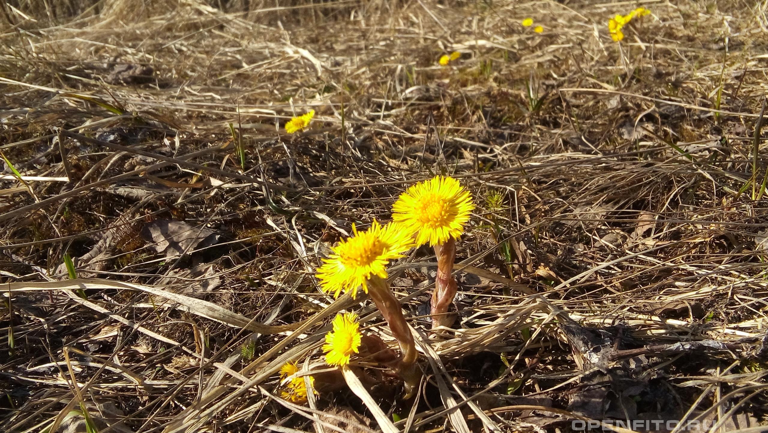 Мать-и-мачеха <p>апрельские цветы</p>
