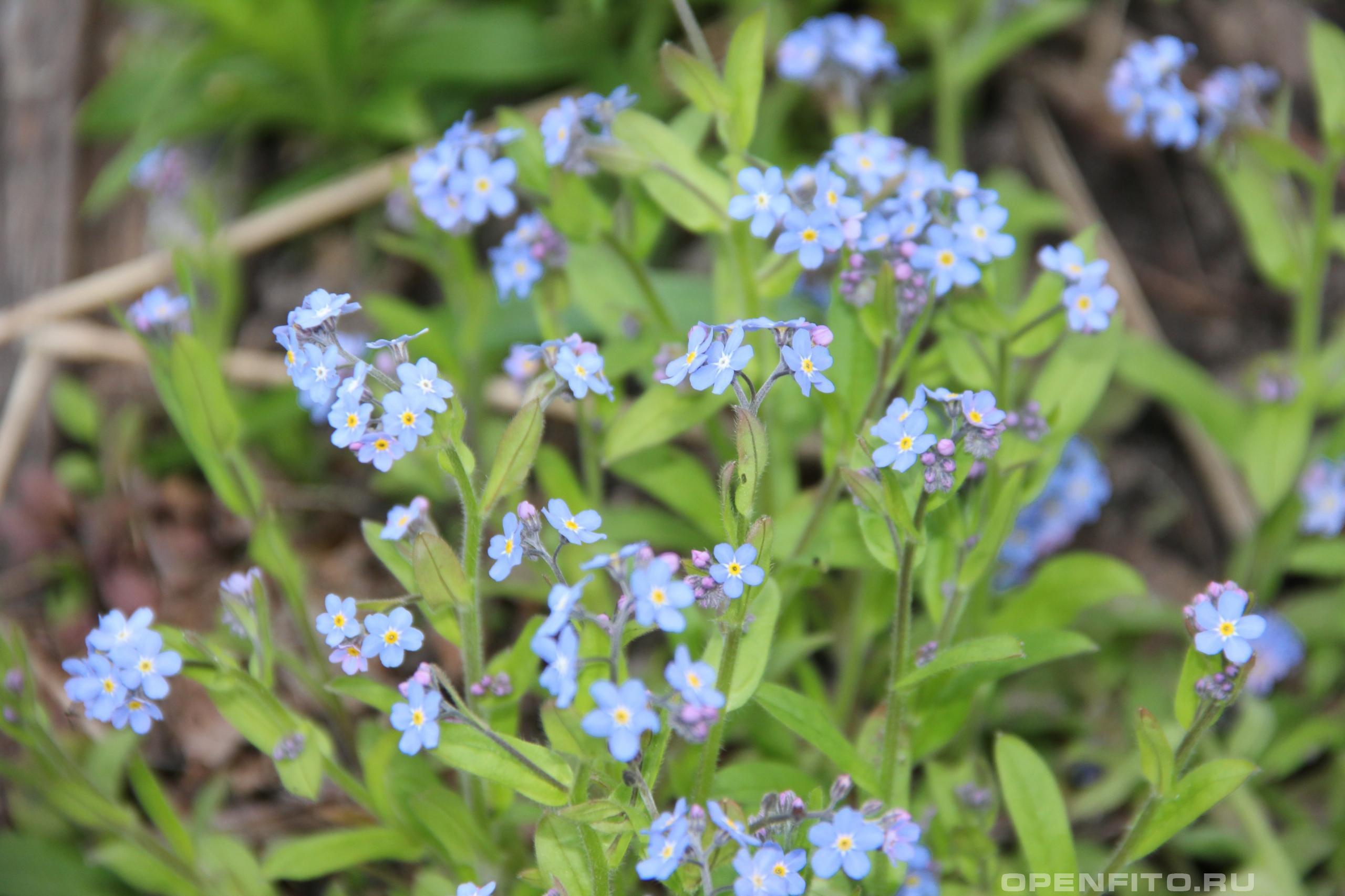 Незабудка полевая <p>лекарственная трава, цветет в первой половине лета и очень распространена в средней полосе России</p>