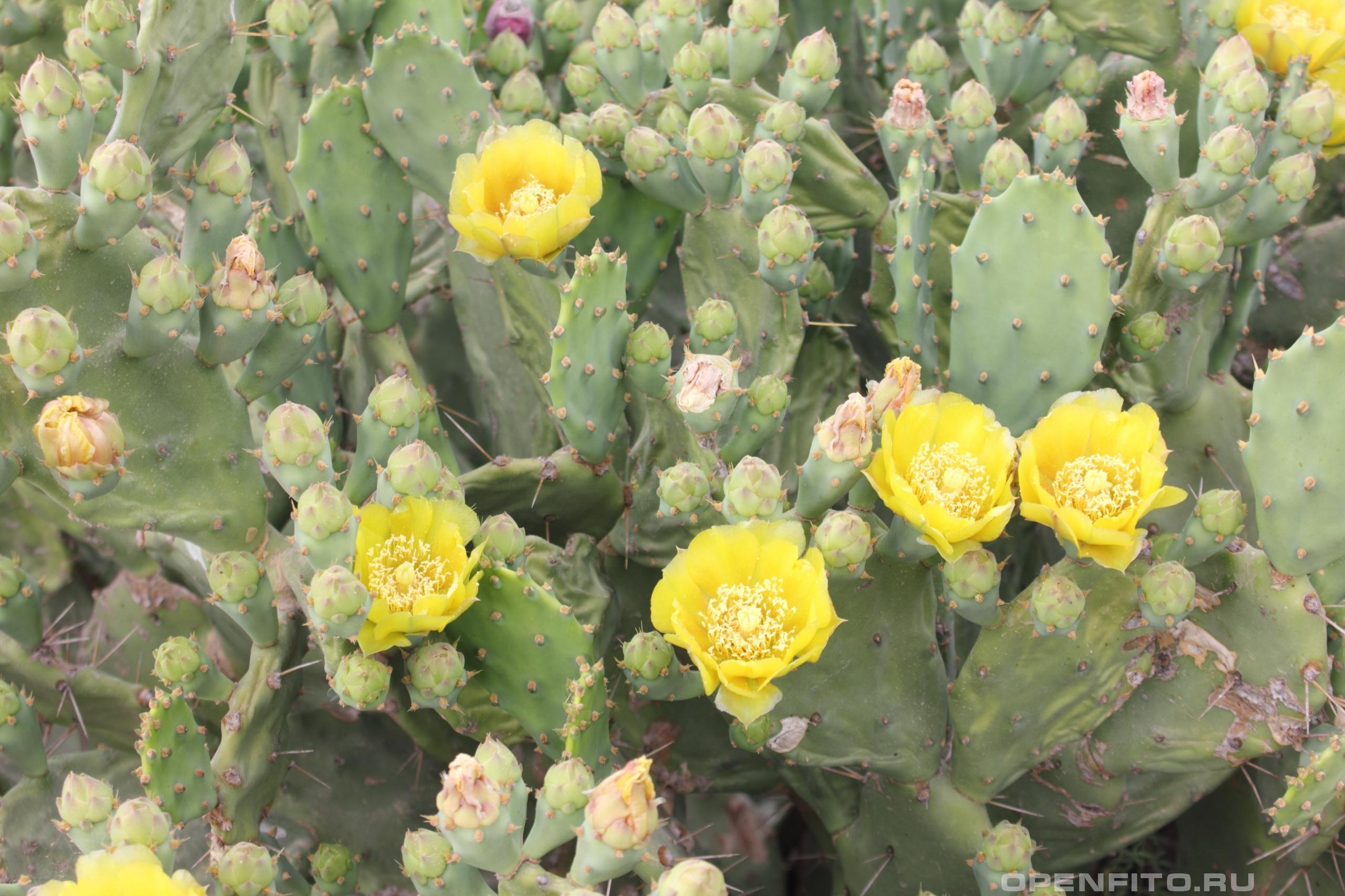Опунция распростёртая растение из семейства кактусовых