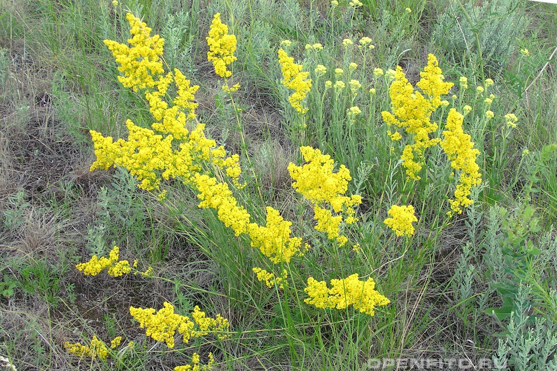 Подмаренник настоящий или подмаренник желтый, именно это растение признано официальной медициной