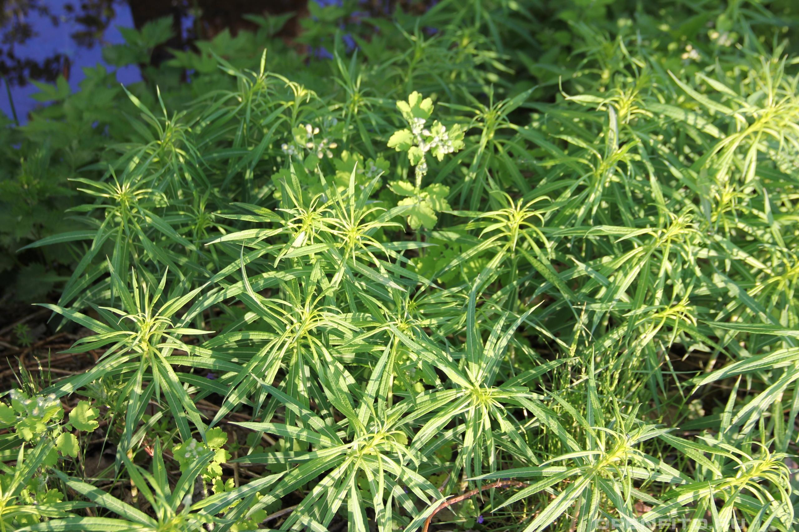 Кипрей узколистный молодое растение