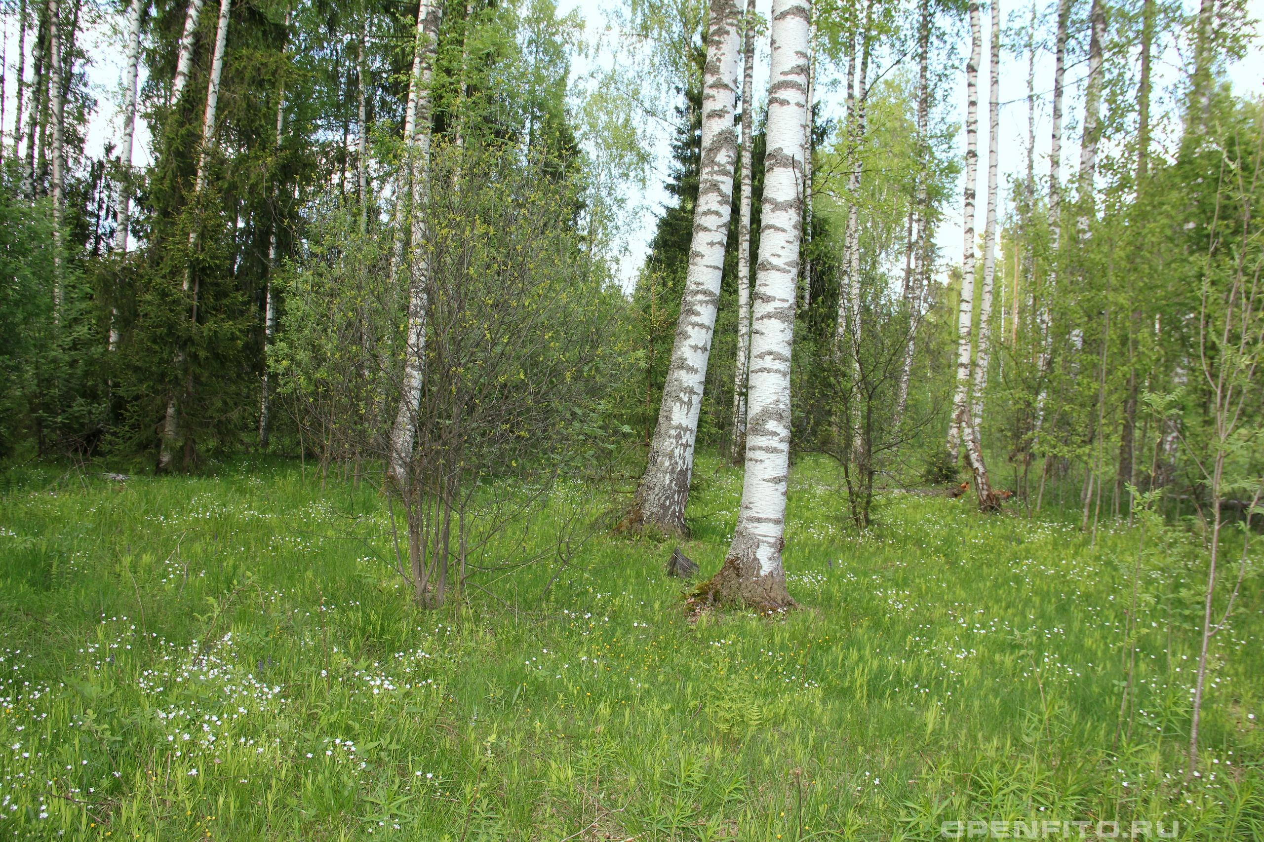 Лес неподалеку от Иваново