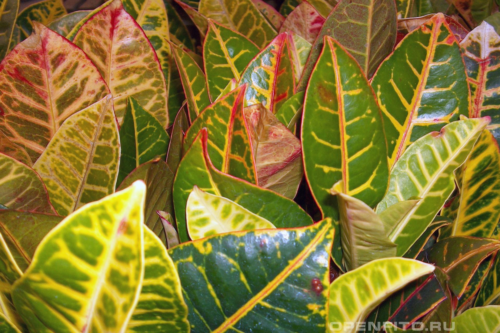 Кодиеум пёстрый листья кротона