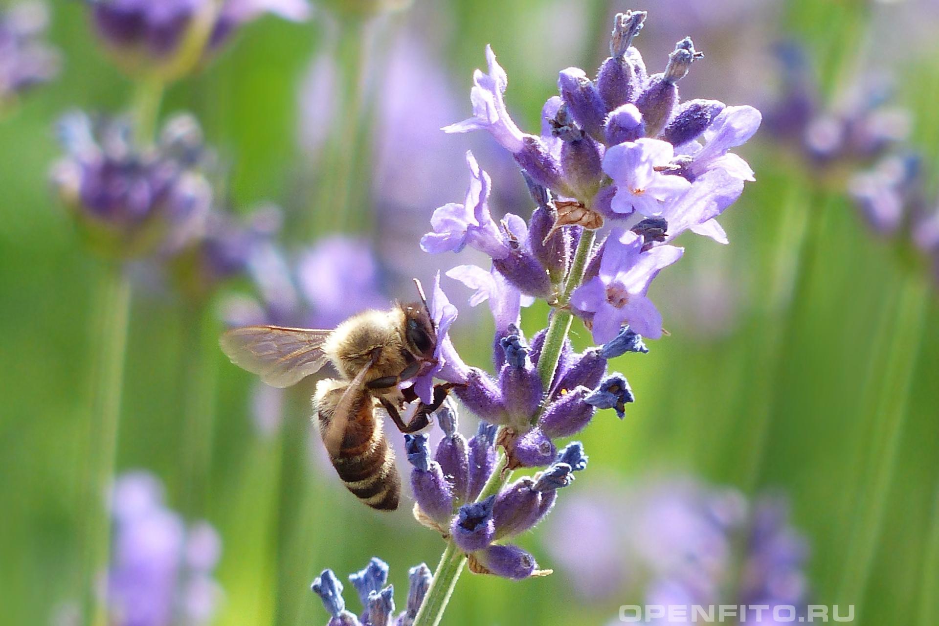 Лаванда пчела собирает нектар с цветков лаванды