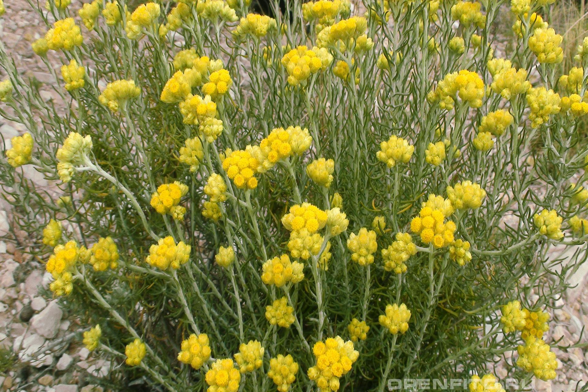 Бессмертник лечебная трава у которой ценятся цветки
