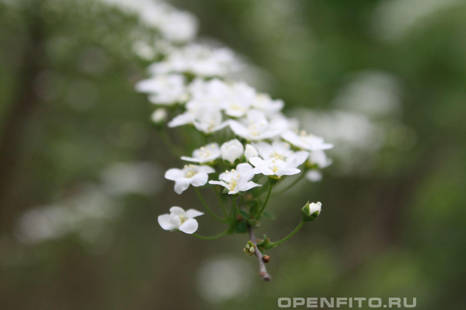 Декоративный куст Весенний цвет