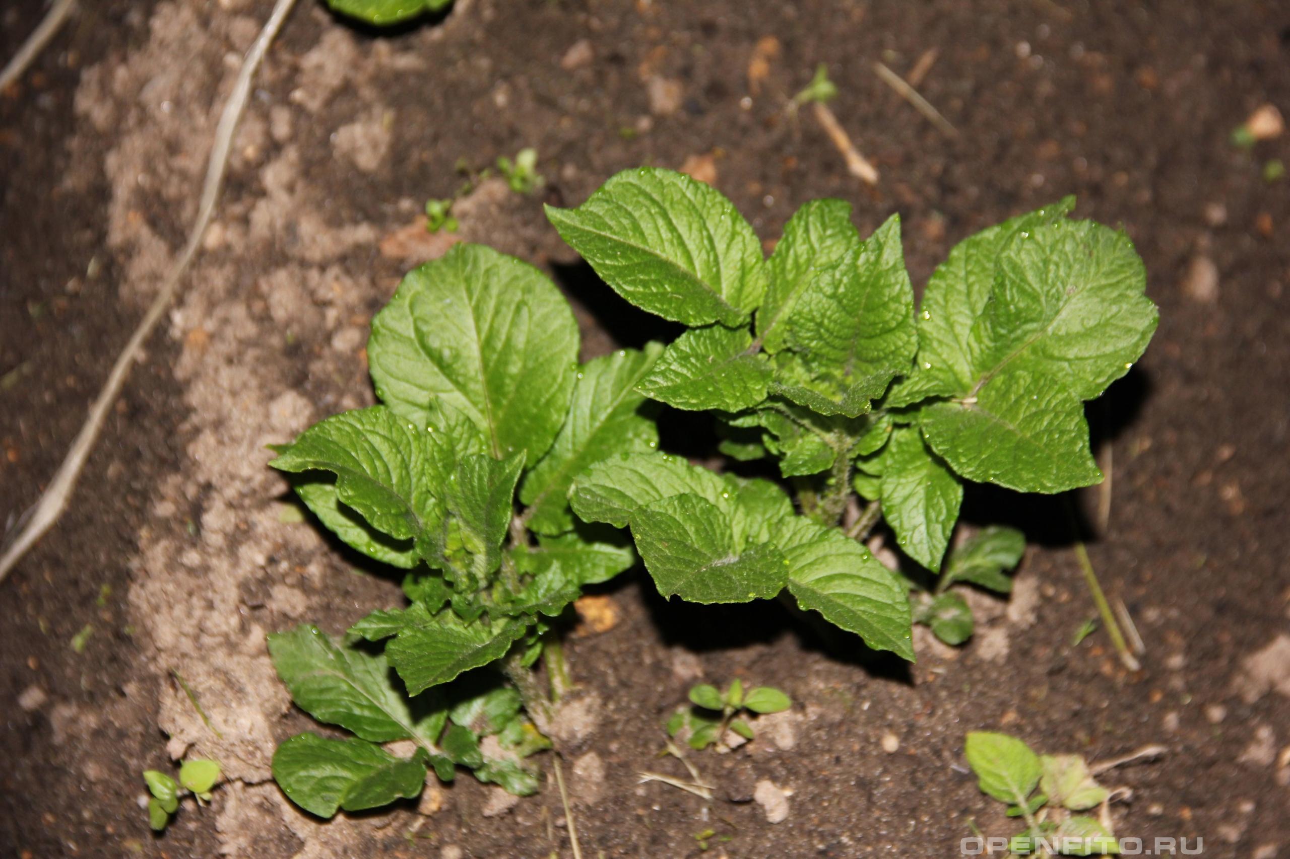 Паслен клубненосный так всходит всем известная картошка