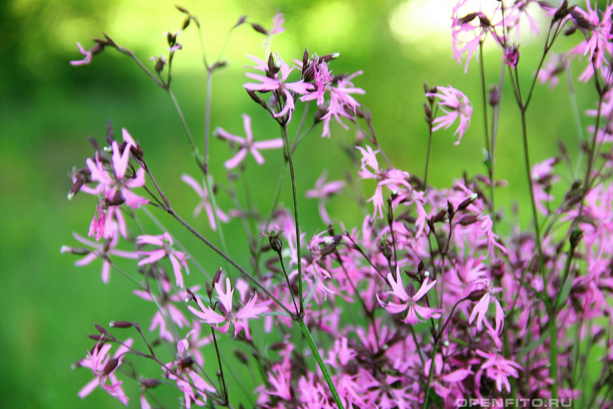 Горицвет кукушкин Коронария кукушкин цвет