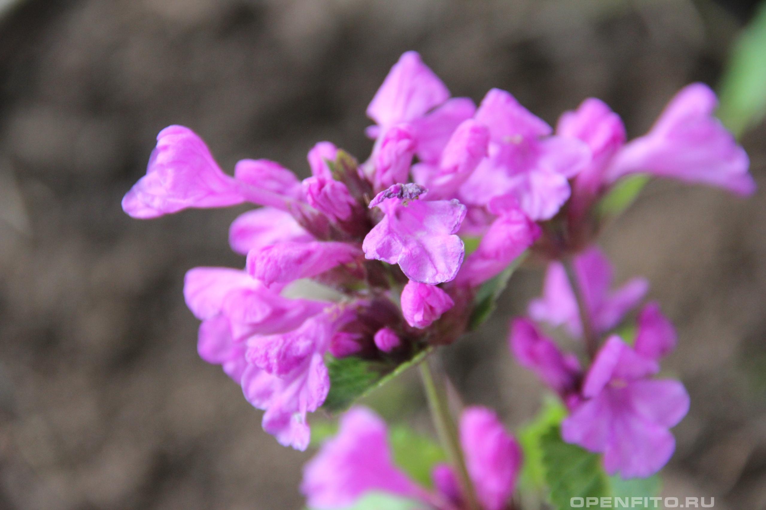 Буквица крупноцветковая <p>Betonicamacrantha - садовое растение</p>